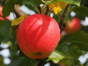 apple-2711628_960_720